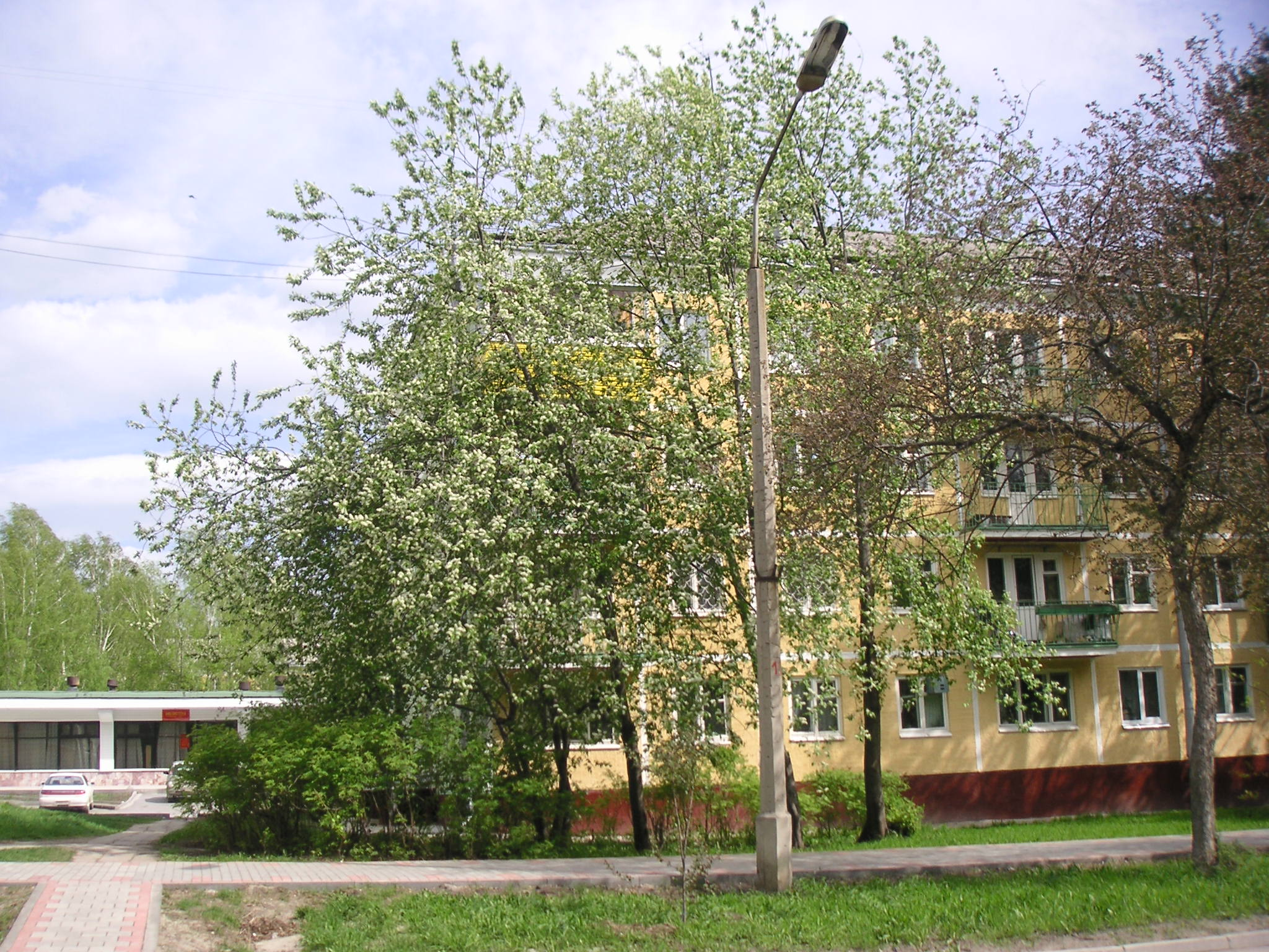 Bird-cherry tree on Zolotodolinskaya str.
