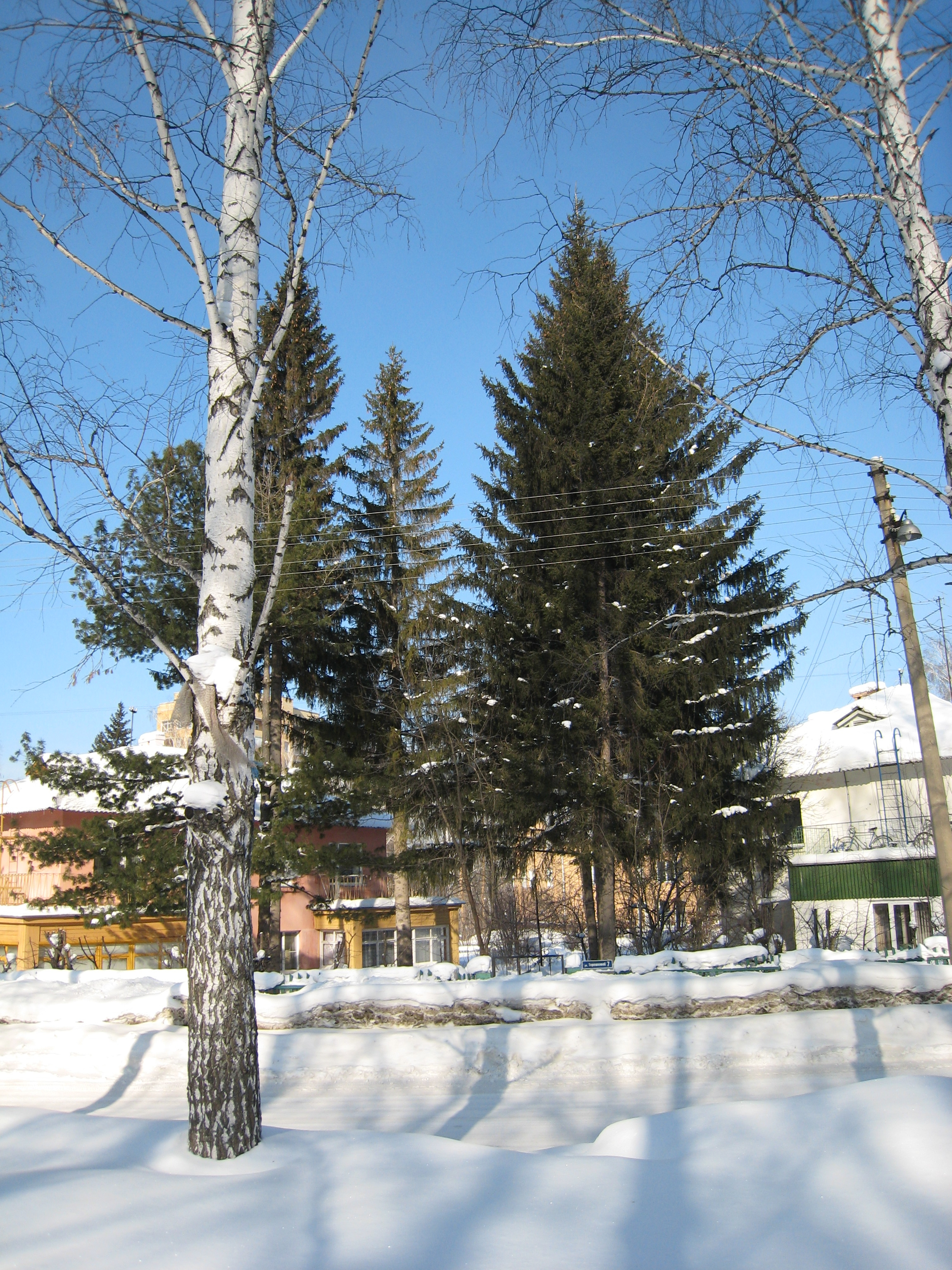 Fir-trees on Tereshkova str.