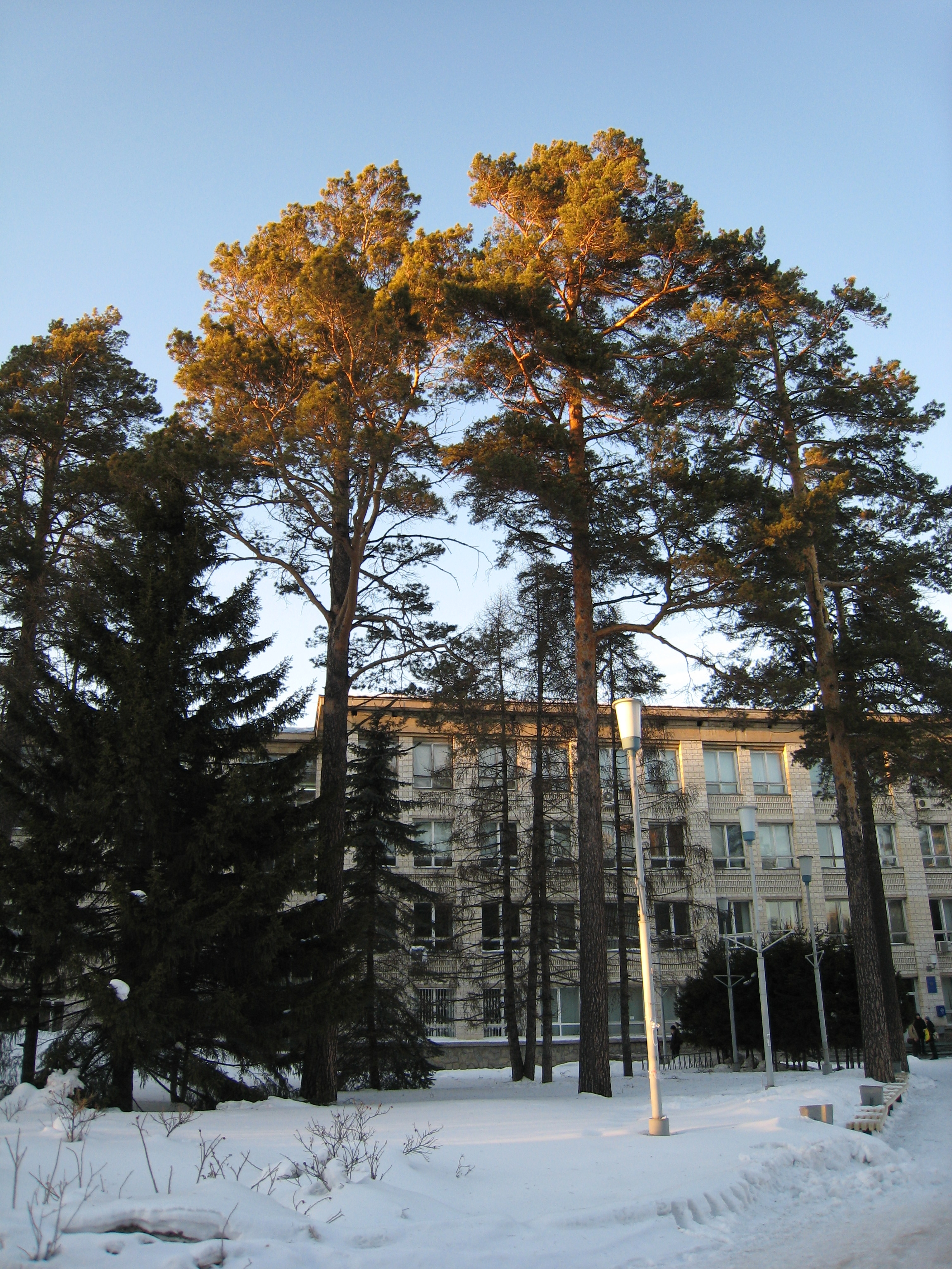 Fir-trees near the University