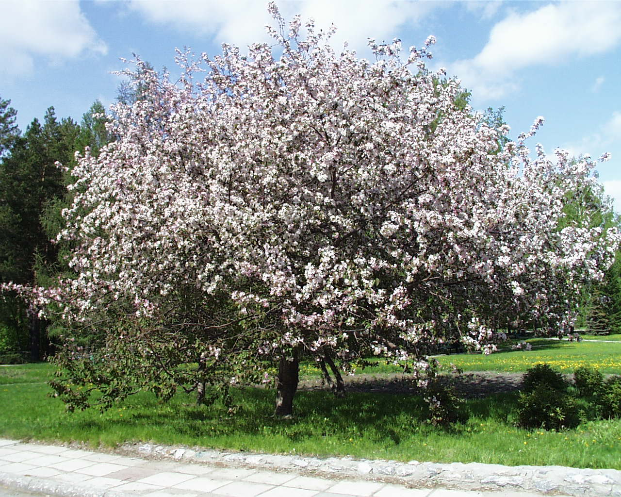 Apple-tree in blossom
