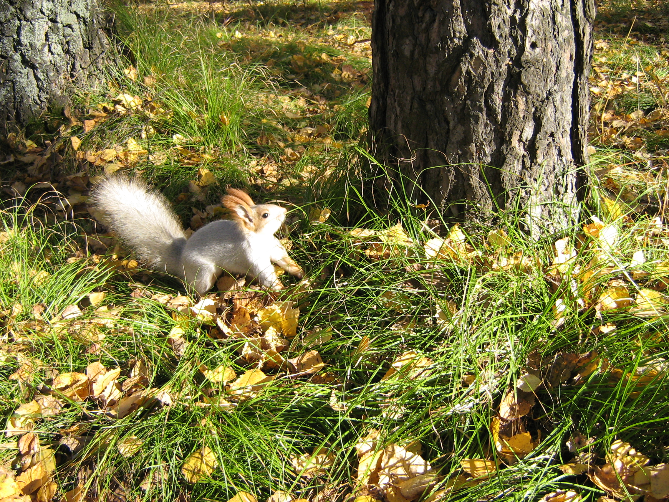 Autumn in Akademgorodok. A squirrel